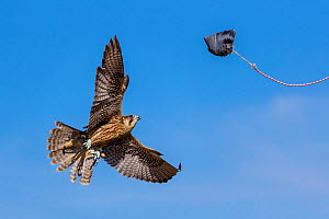 Hybrid Gyrfalcon x Peregrine Falcon (Falco peregrinus x Falco rusticolus) juvenile used in falconry. In training flight on lure showing bell  and telemetry antenna.  -  Klein & Hubert