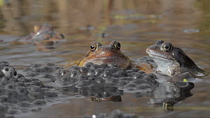 Showreel of Common frog (Rana temporaria) spawning process