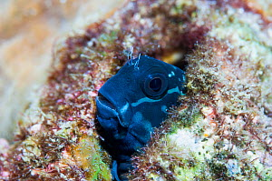RF - Blenny fish  (Cirripectes polyzona)   Lembeh Strait, North Sulawesi, Indonesia. (This image may be licensed either as rights managed or royalty free.)  -  Georgette Douwma