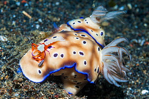 RF - Nudibranch (Risbecia tryoni) with commensal Emperor shrimp (Periclimenes imperator / Zenopontonia rex).   Lembeh Strait, North Sulawesi, Indonesia. (This image may be licensed either as rights ma...  -  Georgette Douwma