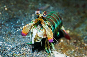 Pink-eared mantis shrimp (Odontodactylus latirostris).  Lembeh Strait, North Sulawesi, Indonesia.  -  Georgette Douwma