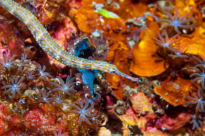 Scribbled pipefish (Corythoichthys sp).  Lembeh Strait, North Sulawesi, Indonesia. - Georgette Douwma