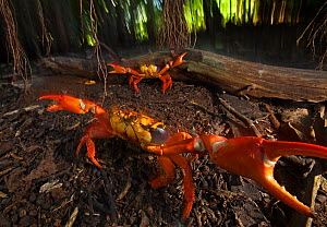 Land Crab (Gecarcinus planatus) in defensive display, Socorro Island, Revillagigedo Archipelago Biosphere Reserve / Archipielago de Revillagigedo UNESCO Natural World Heritage Site (Socorro Islands),... - Claudio  Contreras