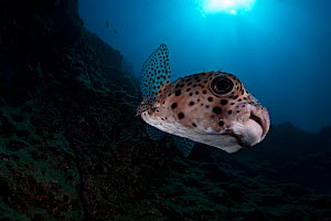 Spotfin Burrfish (Chilomycterus reticulatus), Socorro Island, Revillagigedo Archipelago Biosphere Reserve / Archipielago de Revillagigedo UNESCO Natural World Heritage Site (Socorro Islands), Pacific...  -  Claudio  Contreras
