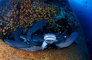 Whitetip Reef Shark (Triaenodon obesus) group resting, IUCN Near Threatened, Roca Partida Islet, Revillagigedo Archipelago Biosphere Reserve / Archipielago de Revillagigedo UNESCO Natural World Herita...  -  Claudio  Contreras