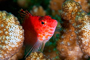 Coral Hawkfish (Cirrhitichthys oxycephalus), Socorro Island, Revillagigedo Archipelago Biosphere Reserve / Archipielago de Revillagigedo UNESCO Natural World Heritage Site (Socorro Islands), Pacific O...  -  Claudio  Contreras