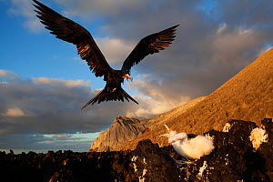 Great Frigatebird (Fregata minor) arriving at nest with begging chick, San Benedicto Island, Revillagigedo Archipelago Biosphere Reserve / Archipielago de Revillagigedo UNESCO Natural World Heritage S...  -  Claudio  Contreras
