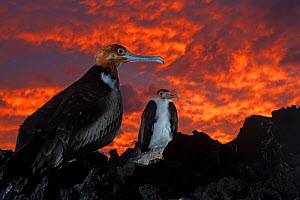 Great Frigatebird (Fregata minor) chick in nest at sunset, San Benedicto Island, Revillagigedo Archipelago Biosphere Reserve / Archipielago de Revillagigedo UNESCO Natural World Heritage Site (Socorro...  -  Claudio  Contreras
