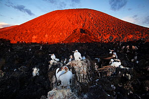 Great Frigatebird (Fregata minor) colony and Barcena volcano, chick in nest, San Benedicto Island, Revillagigedo Archipelago Biosphere Reserve / Archipielago de Revillagigedo UNESCO Natural World Heri...  -  Claudio  Contreras