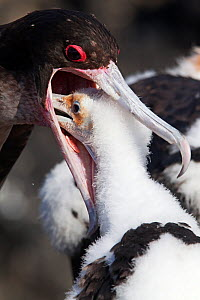Great Frigatebird (Fregata minor) adult feeding chick, San Benedicto Island, Revillagigedo Archipelago Biosphere Reserve / Archipielago de Revillagigedo UNESCO Natural World Heritage Site (Socorro Isl...  -  Claudio  Contreras