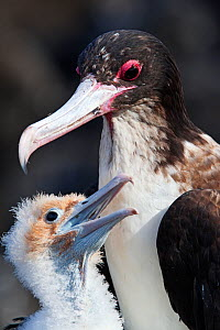 Great Frigatebird (Fregata minor) with chick, San Benedicto Island, Revillagigedo Archipelago Biosphere Reserve / Archipielago de Revillagigedo UNESCO Natural World Heritage Site (Socorro Islands), Pa...  -  Claudio  Contreras