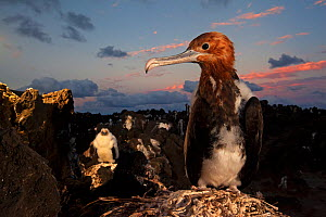 Great Frigatebird (Fregata minor) chick, San Benedicto Island, Revillagigedo Archipelago Biosphere Reserve / Archipielago de Revillagigedo UNESCO Natural World Heritage Site (Socorro Islands), Pacific...  -  Claudio  Contreras