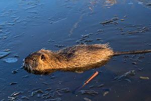 Coypu (Myocastor coypus) swimming in a partially frozen lake,  Lower Saxony, Germany, December. - Kerstin  Hinze