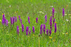 Southern early purple orchid (Orchis olbiensis) in wild flower meadow, Vallon de Combeau, Vercors Regional Natural Park, Vercors, France, June 2016. Non-ex.  -  Mike Read