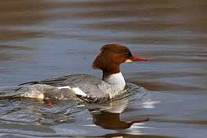 Goosander (Mergus merganser) female swimming on river, Lower Test, Hampshire and Isle of Wight Wildlife Trust Reserve near Southampton, Hampshire, England,  UK. February.  -  Mike Read