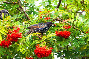 Common starling (Sturnus vulgaris) juvenile eating berries of Mountain ash (Sorbus aucuparia) in a garden, Ringwood, Hampshire, England, UK, August 2015. - Mike Read
