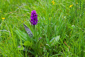 Broad-leaved marsh orchid (Dactylorhiza majalis) in grassland near the Col du Prayer Vercors Regional Natural Park Vercors France June 2016  -  Mike Read