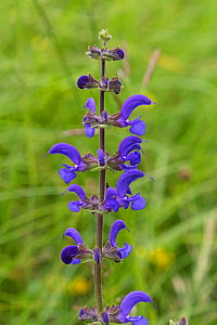 Meadow clary (Salvia pratensis) flower in grassland near St-Agnon-en-Vercors, Vercors Regional Natural Park, Vercors, France, June 2016.  -  Mike Read