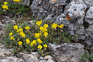 Common rockrose (Helianthemum nummularium) clump growing amongst limestone rocks near la Chapelle Vercors Regional Natural Park, Vercors, France, June 2016.  -  Mike Read