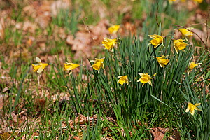 Wild daffodil (Narcissus pseudonarcissus) Pamber Forest, Hampshire and Isle of Wight Wildlife Trust Reserve, Pamber Heath,  Hampshire England UK 2016  -  Mike Read