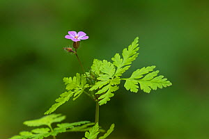 Herb robert (Geranium robertianum) Chappetts Copse, Hampshire and Isle of Wight Wildlife Trust Reserve near West Meon, Hampshire, England, UK, May 2016. - Mike Read