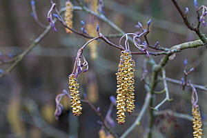 Alder (Alnus glutinosa) catkins, Testwood Lakes Reserve, Hampshire and Isle of Wight Wildlife Trust Reserve, Southampton, Hampshire, England, UK. February 2016.  -  Mike Read