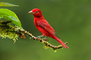Summer tanager (Piranga rubra) adult male, perched on branch in Lowland Rainforest,  Costa Rica. - Melvin Grey