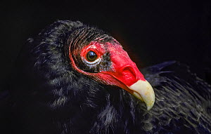 Turkey vulture (Cathartes aura) captive, occurs in North America. - Melvin Grey