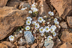 Edmondston's chickweed (Cerastium nigrescens) growing in rocks,  Unst, Shetland, Scotland UK. June.  -  Melvin Grey