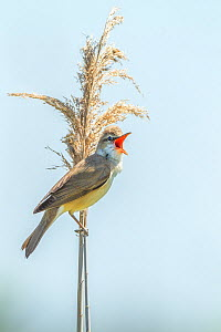 Great reed warbler (Acrocephalus arundinaceus) adult male singing, Bulgaria - Melvin Grey