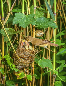 Reed warbler (Acrocephalus scirpaceus) adults at nest in reedbed,  feeding young, Surrey, England, UK. - Melvin Grey