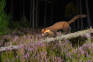 Pine marten (Martes martes) carrying a bird's egg. Black Isle, Scotland, UK. September. Camera trap image - Terry  Whittaker