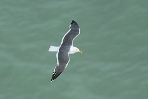 Lesser black-backed gull (Larus fuscus) in flight, Kent July - Terry  Whittaker