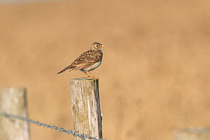 Skylark (Alauda arvensis) on fence separating cereal crop from rough grassland managed for wildlife. White Cliffs, Kent. July  -  Terry  Whittaker