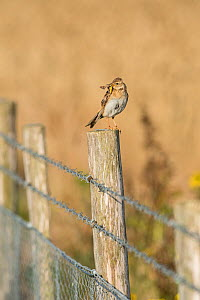 Skylark (Alauda arvensis) on fence separating cereal crop from rough grassland managed for wildlife. Kent. July  -  Terry  Whittaker