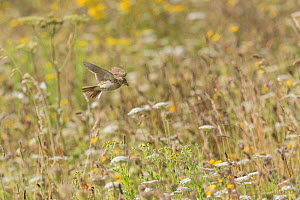 Skylark (Alauda arvensis) dropping into its nest,  White Cliffs, Kent. July  -  Terry  Whittaker