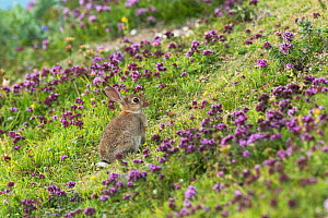 European Rabbit (Oryctolagus cuniculus) and wild Thyme (Thymus sp). Chalk cliffs, Kent. July  -  Terry  Whittaker