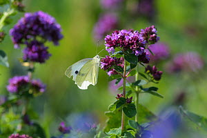 Small white butterfly (Pieris rapae) on wild Thyme (Thymus sp).  Kent, UK. July  -  Terry  Whittaker