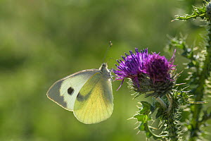 Large White butterfly (Pieris brassicae) on thistle.  Kent, UK. July  -  Terry  Whittaker