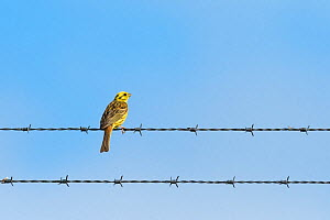 Yellowhammer (Emberiza citrinella) perched  on barbed wire fence. Chalk cliffs, Dover, Kent. July - Terry  Whittaker