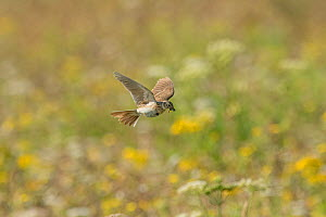 Skylark (Alauda arvensis) flying to its nest,  White Cliffs, Kent. July  -  Terry  Whittaker