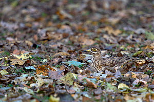 Eurasian thick-knee (Burhinus oedicnemus) nesting on the ground, camouflaged against the leaves, Pench National Park, Madhya Pradesh, India, March - Loic  Poidevin