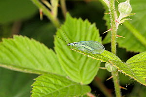 Green lacewing (Chrysopa perla) resting on leaf at the edge of woodland, Cheshire, UK, June.  -  Alan  Williams