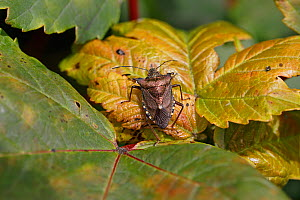 Red-legged shield bug (Pentatoma rufipes) resting on leaf in woodland, Cheshire, UK, July.  -  Alan  Williams