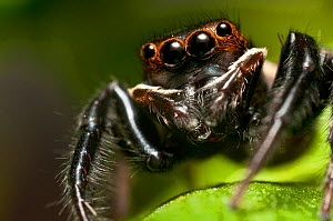 Jumping spider (Euophrys frontalis) portrait, captive.  -  James Dunbar