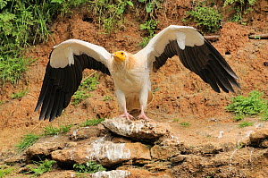 Egyptian vulture (Neophron percnopterus) adult with wings stretched, France  -  Dave Watts
