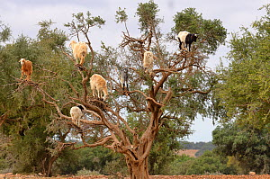 Domestic goats (Capra aegagrus hircus) climbing in Argan tree to feed on leaves, Essaouira, Morocco - Dave Watts