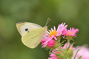 Large white butterfly (Pieris brassicae) feeding on aster, UK  -  Dave Watts