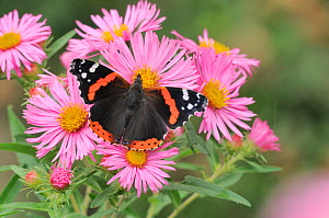Red admiral (Vanessa atalanta) on flowers, UK.  -  Dave Watts
