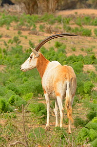 Scimitar-horned oryx (Oryx dammah) captive in enclosure of Souss Massa National Park, Morocco. Extinct in the Wild. - Dave Watts